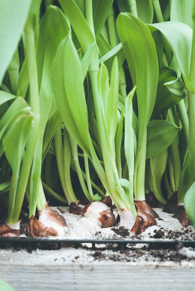 Kees en Saskia Overdevest | Tulpen en zo…